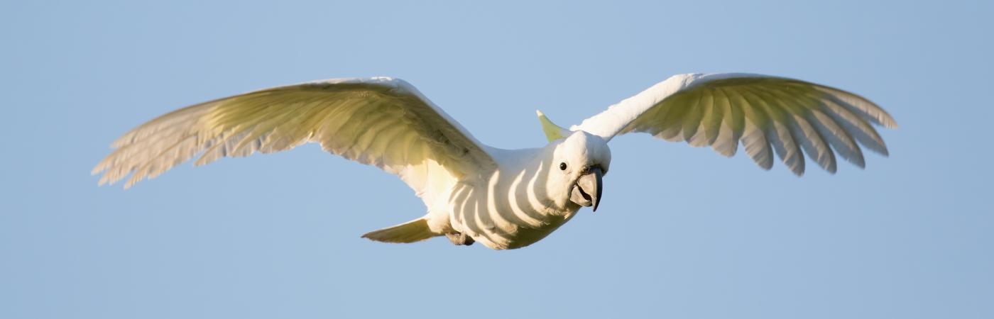 Sulphur-crested Cockatoo (Image ID 43362)