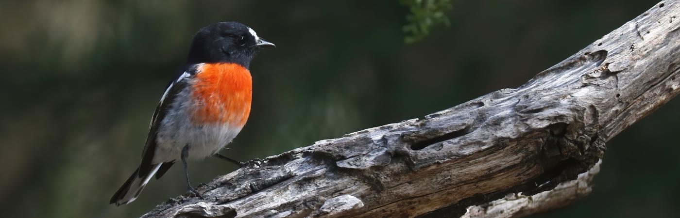 Scarlet Robin (Image ID 43431)