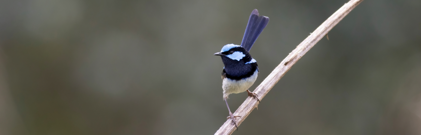 Superb Fairy-wren (Image ID 43769)