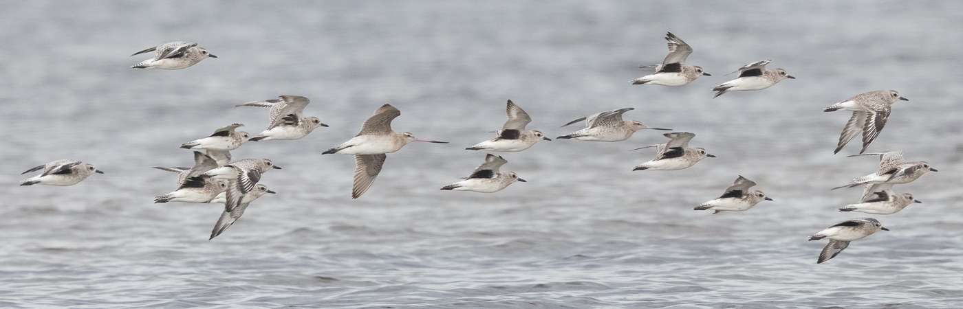 Bar-tailed Godwit, Grey Plover (Image ID 44112)