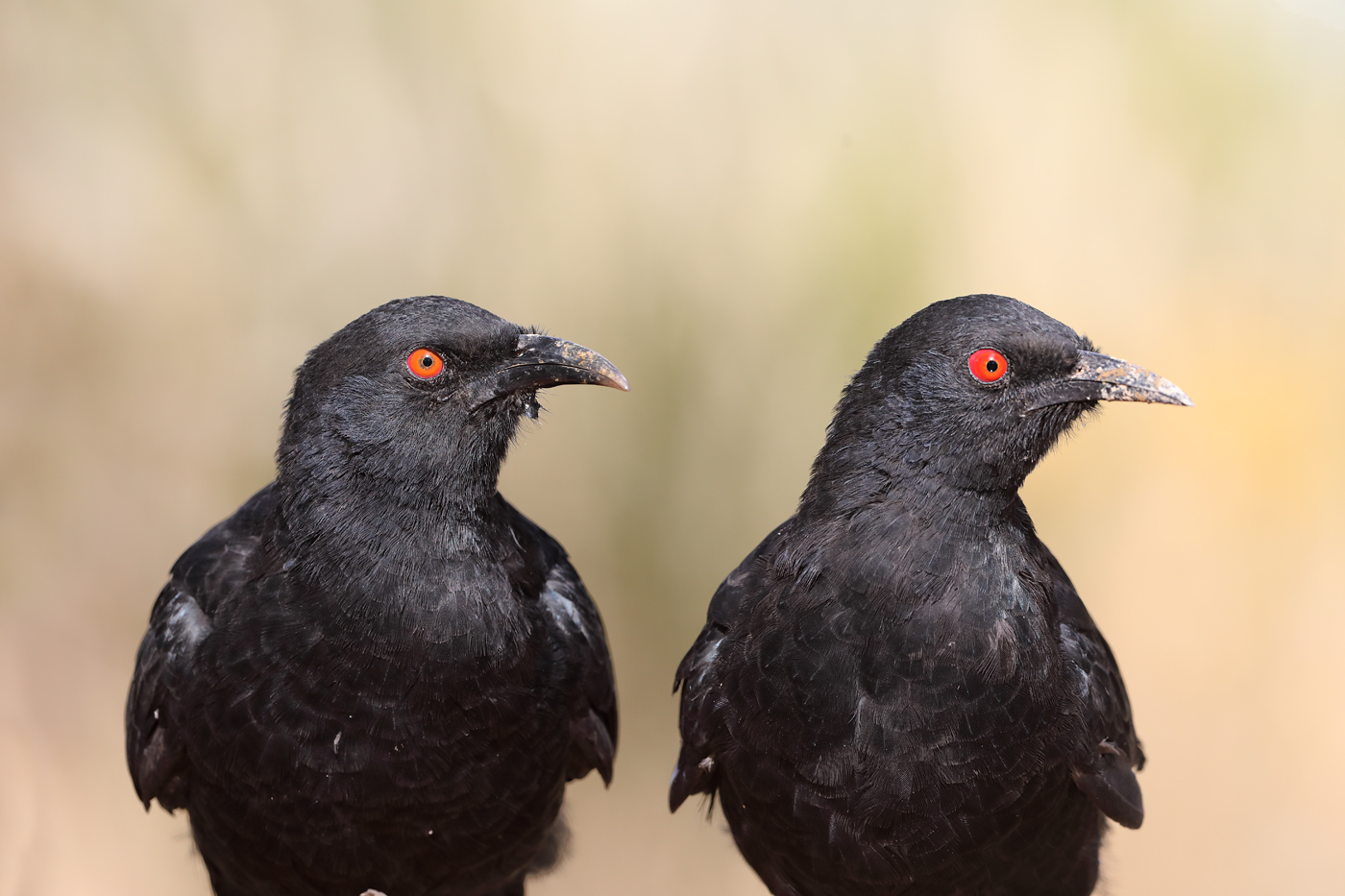 White-winged Chough (Image ID 44209)