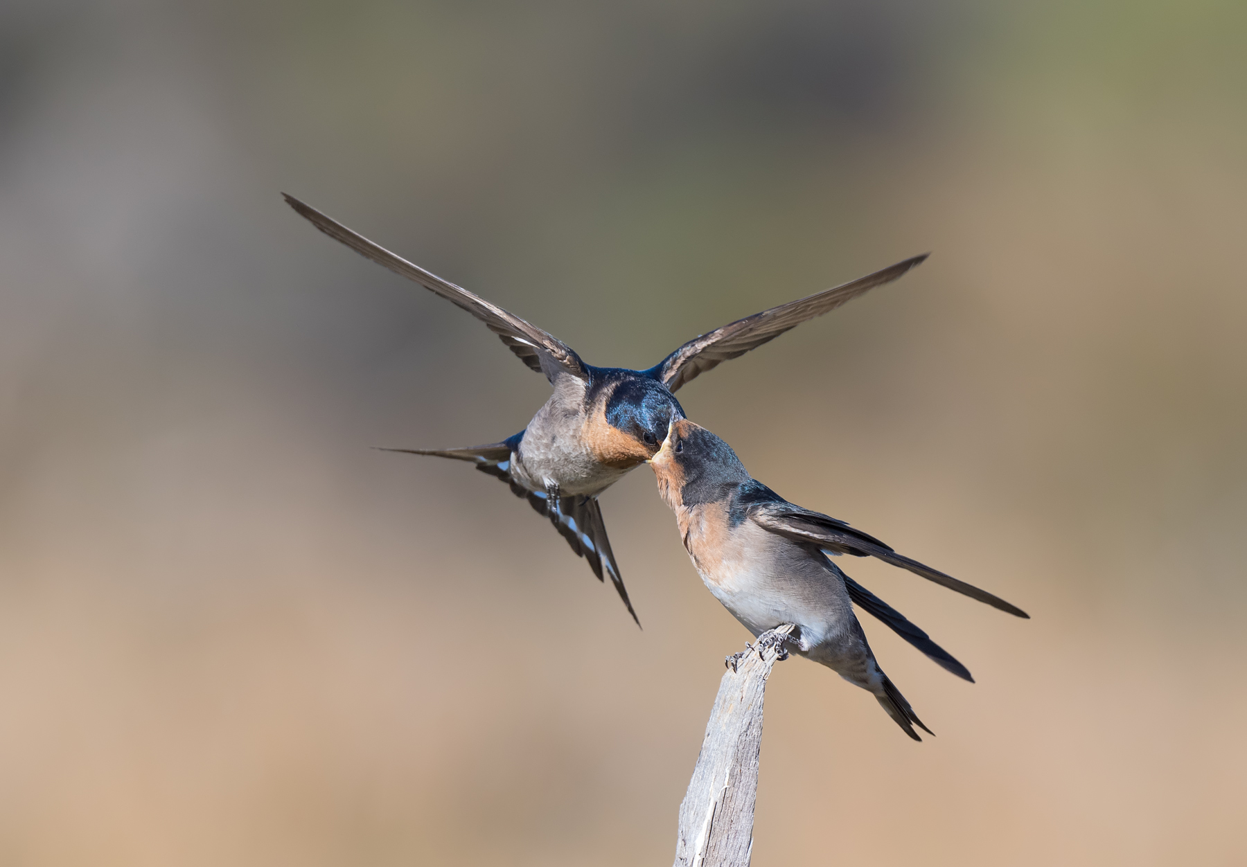 Welcome Swallow (Image ID 44408)