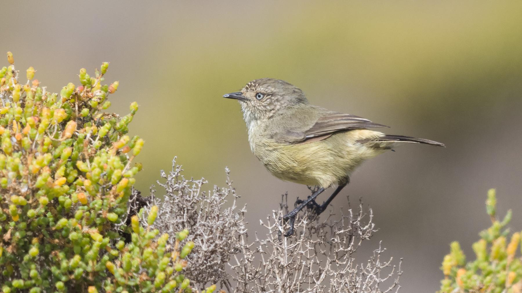 Slender-billed Thornbill (Image ID 44891)