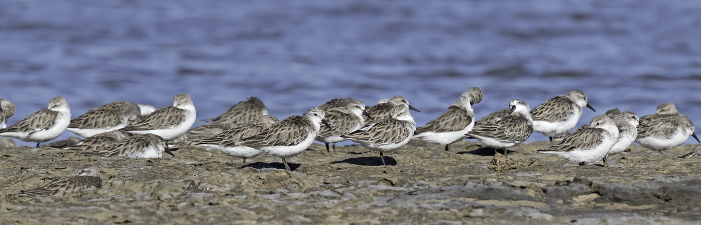 Red-necked Stint (Image ID 44790)