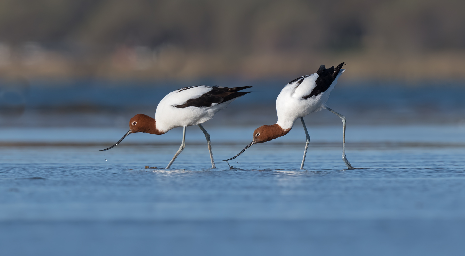 Red-necked Avocet (Image ID 44890)