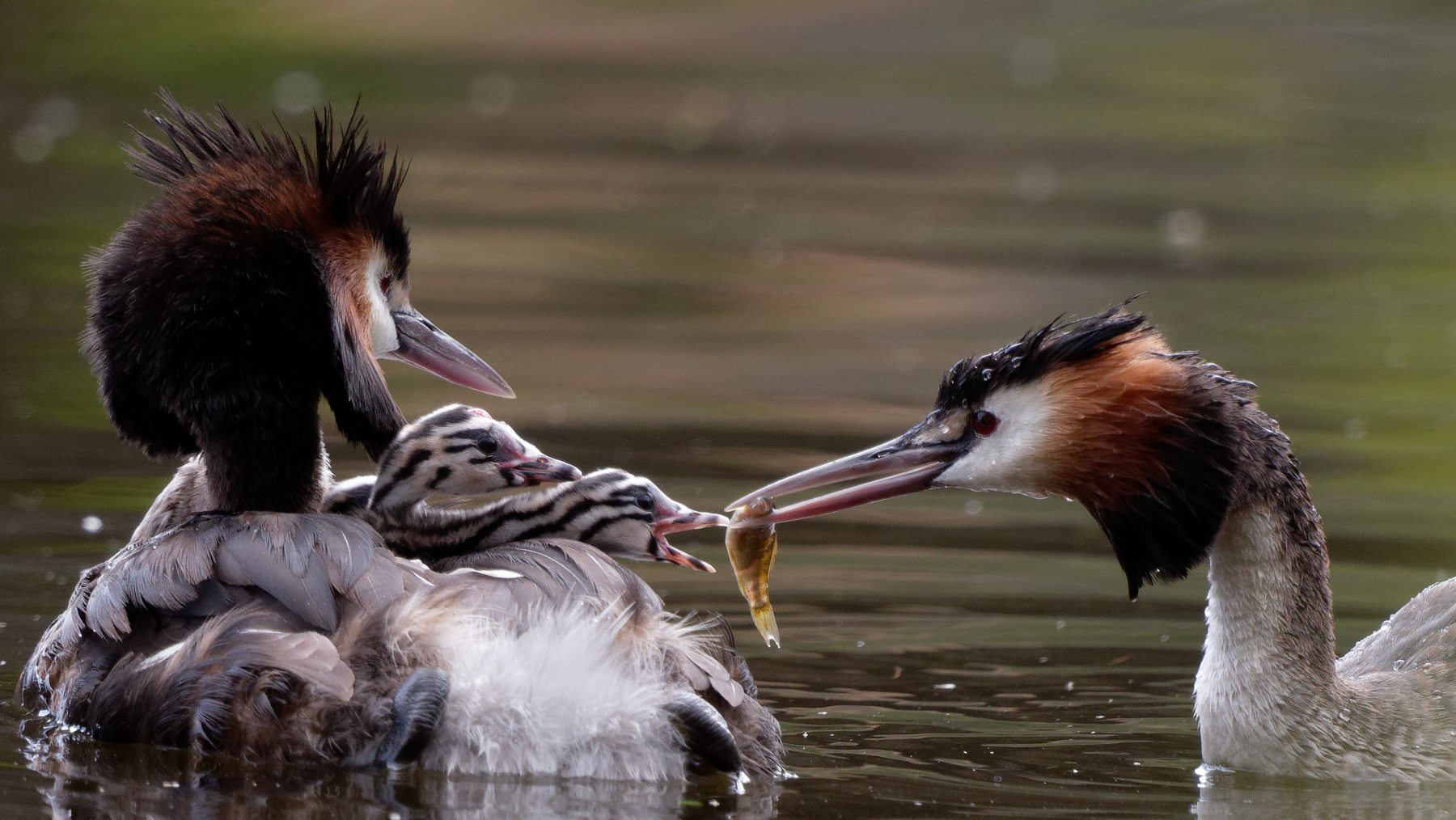 Great Crested Grebe (Image ID 44761)