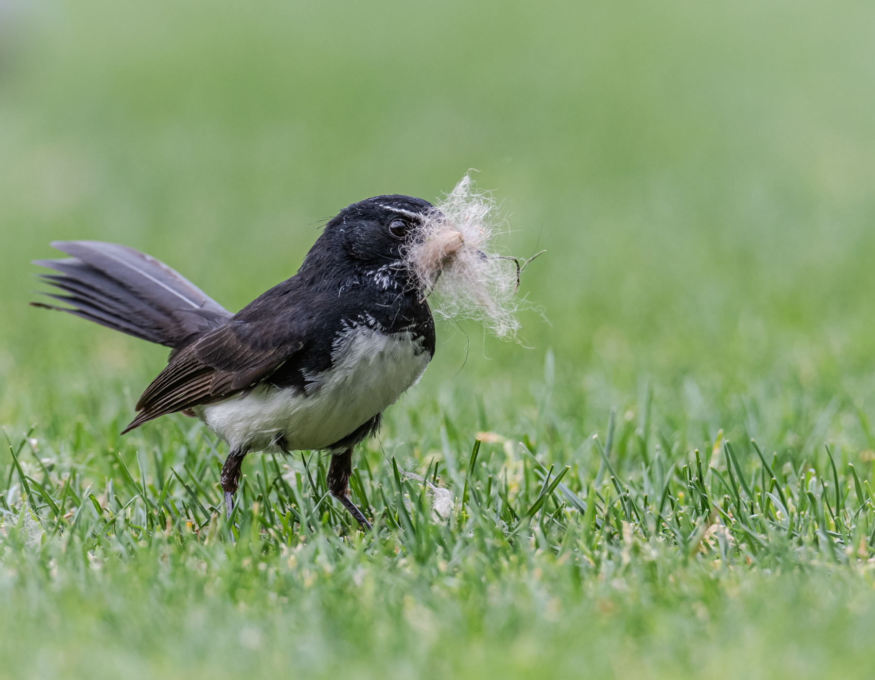 Willie Wagtail (Image ID 44918)