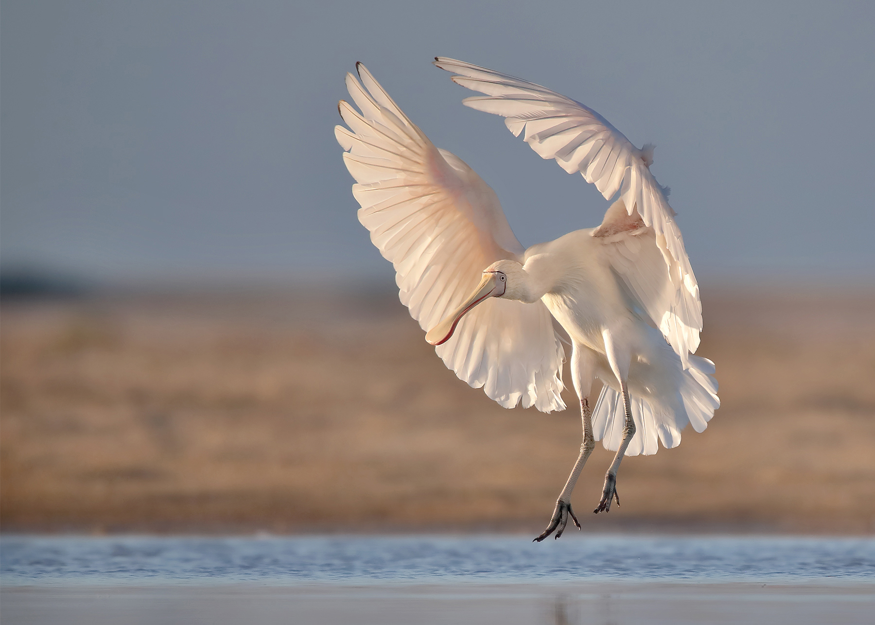 Yellow-billed Spoonbill (Image ID 44874)