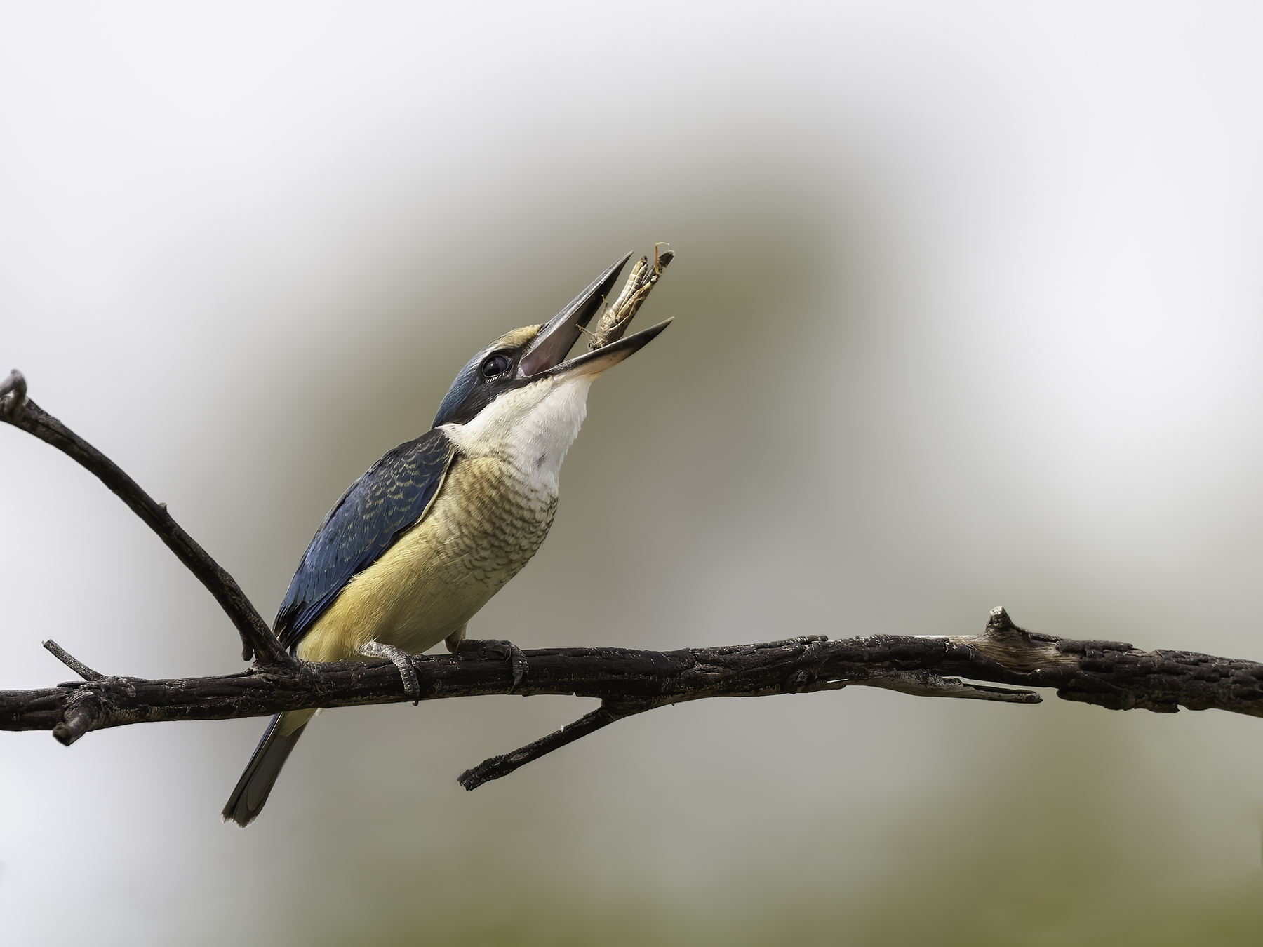 Sacred Kingfisher (Image ID 45518)