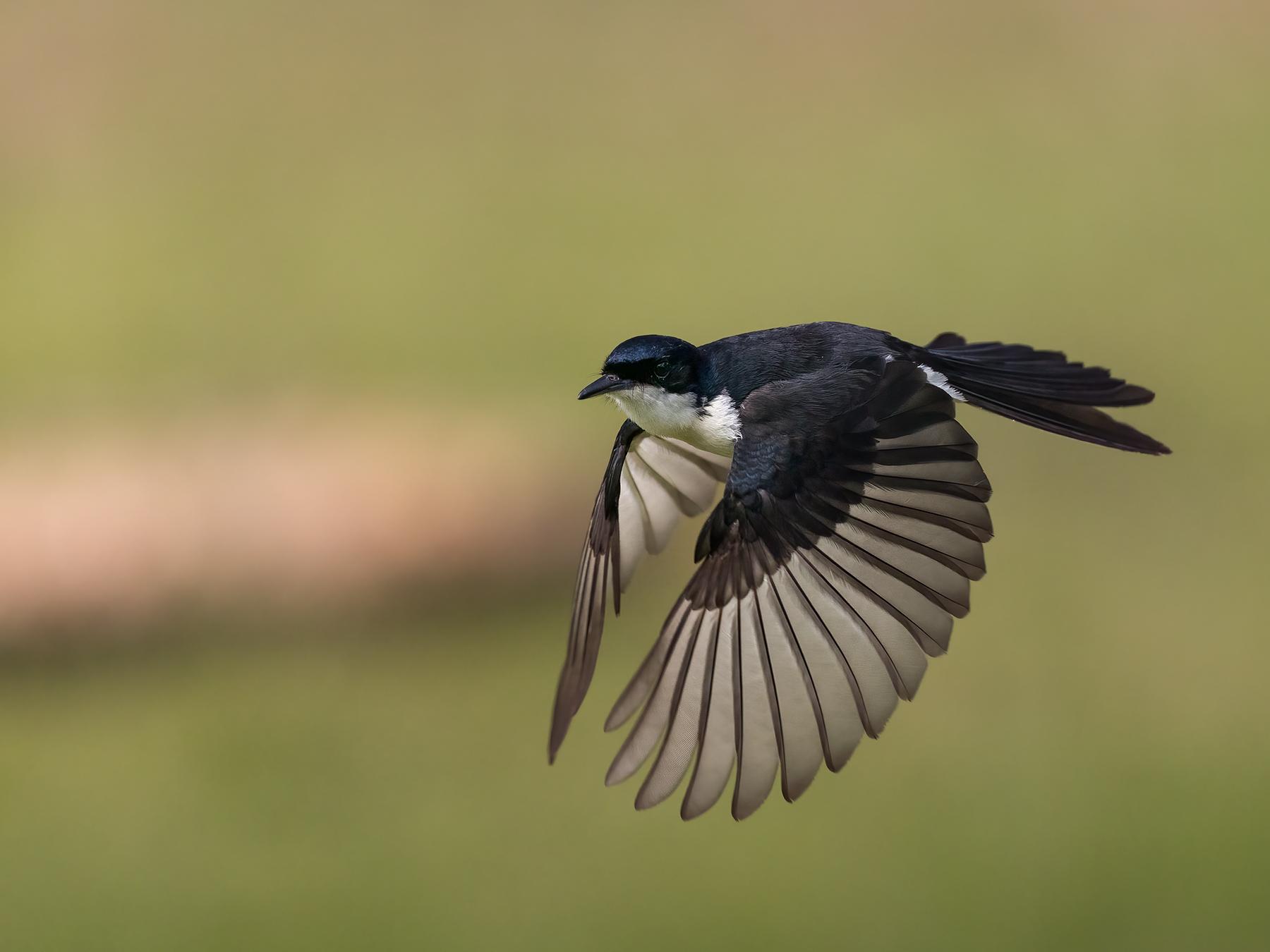 Restless Flycatcher (Image ID 45746)