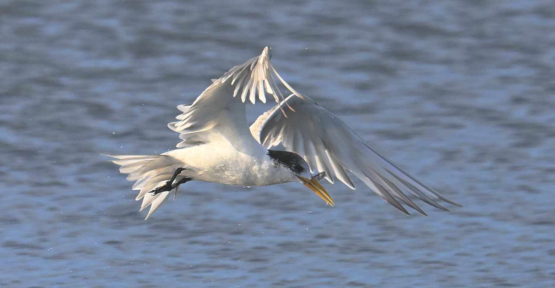 Greater Crested Tern (Image ID 45779)