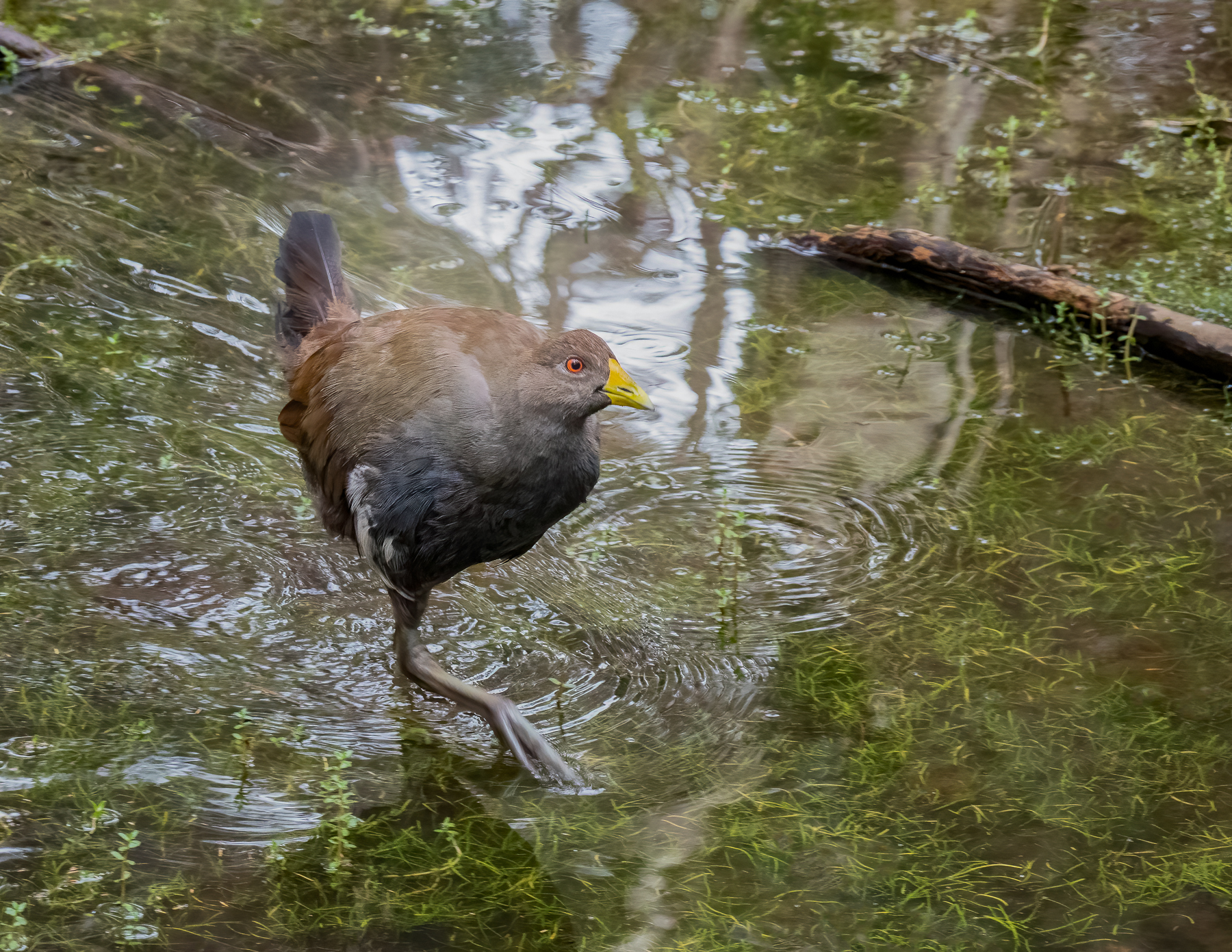 Tasmanian Native-hen (Image ID 45738)