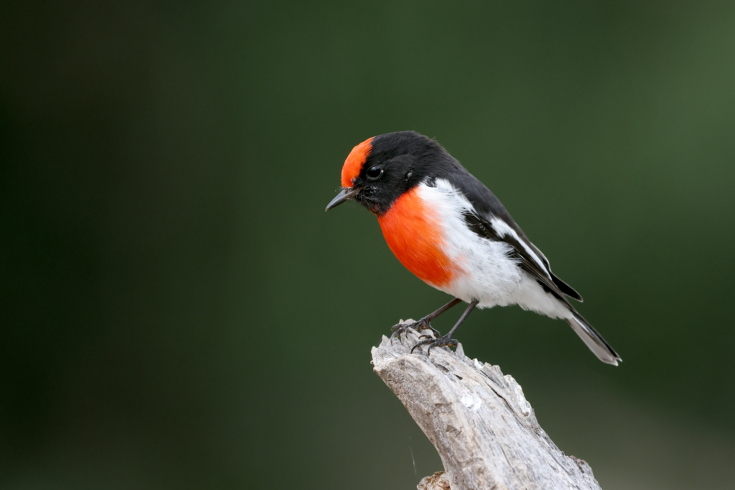 Red-capped Robin (Image ID 46144)