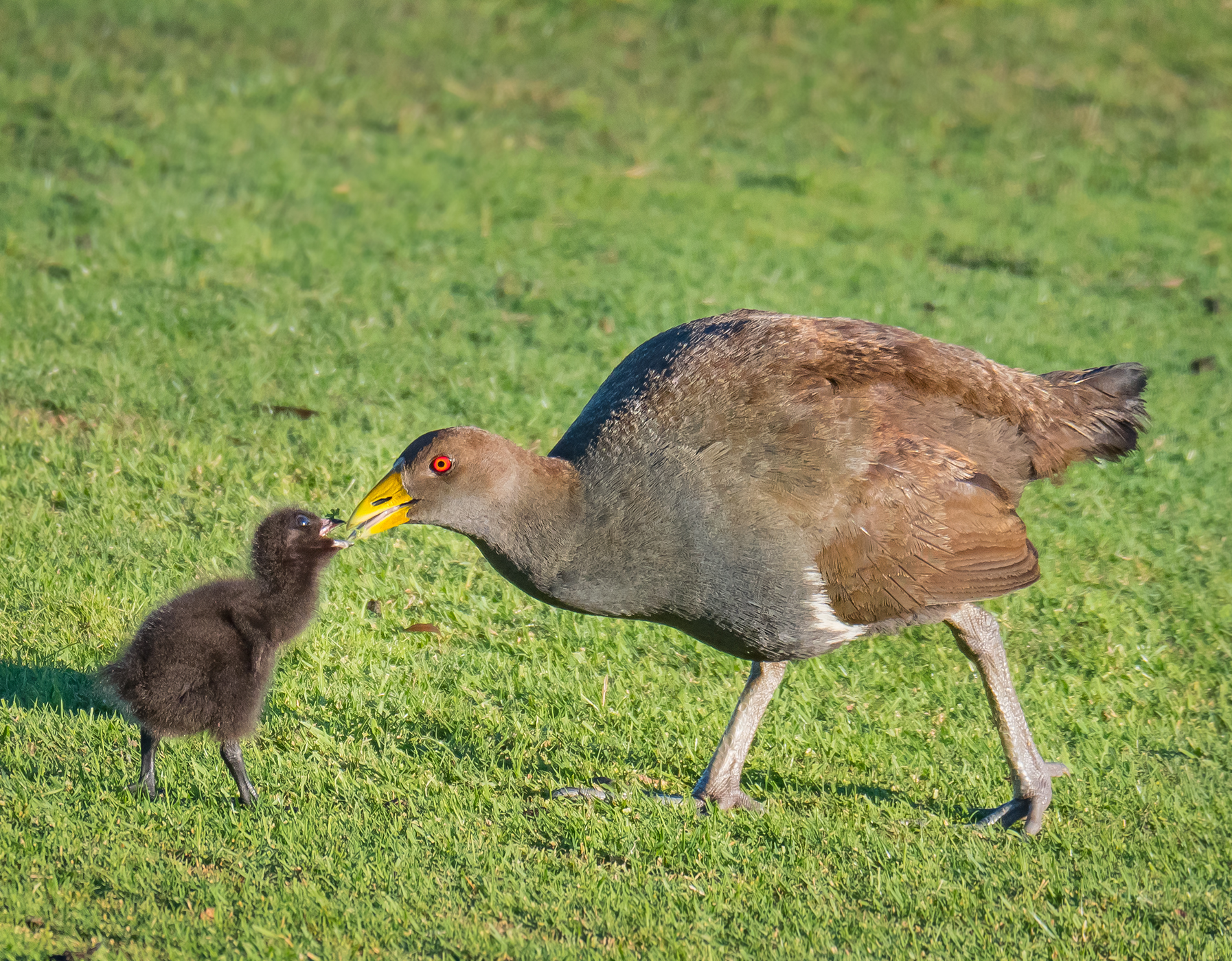 Tasmanian Native-hen (Image ID 46333)
