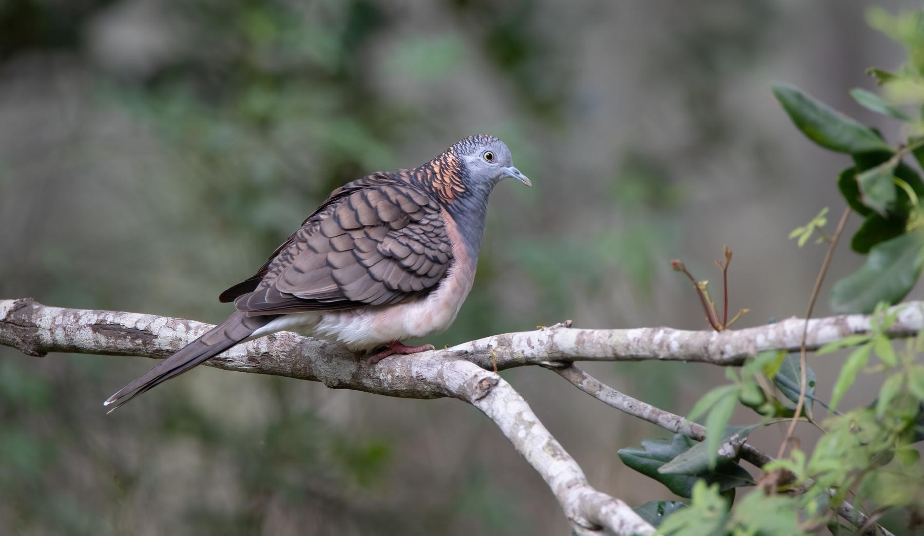 Bar-shouldered Dove (Image ID 46378)