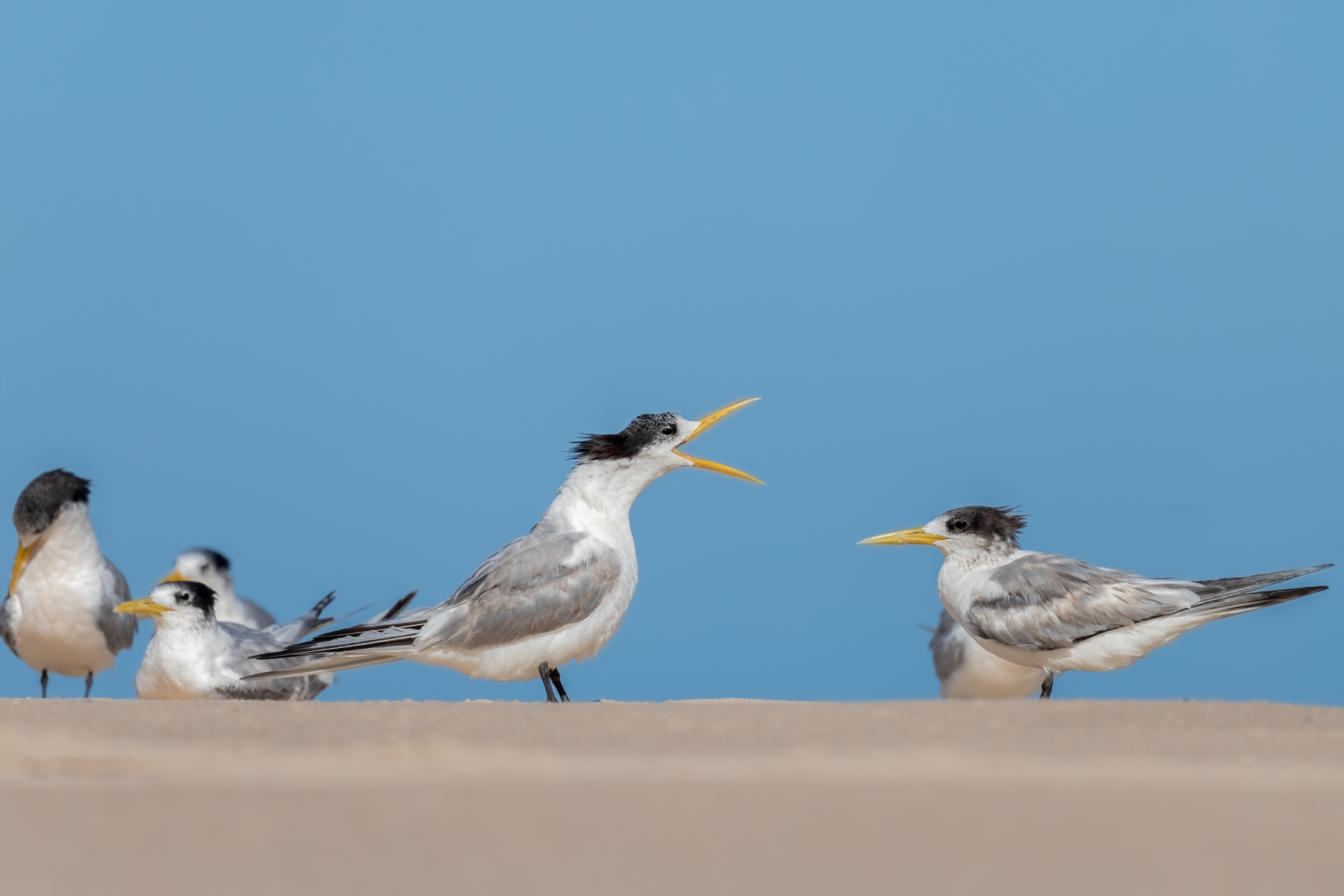 Greater Crested Tern (Image ID 45952)