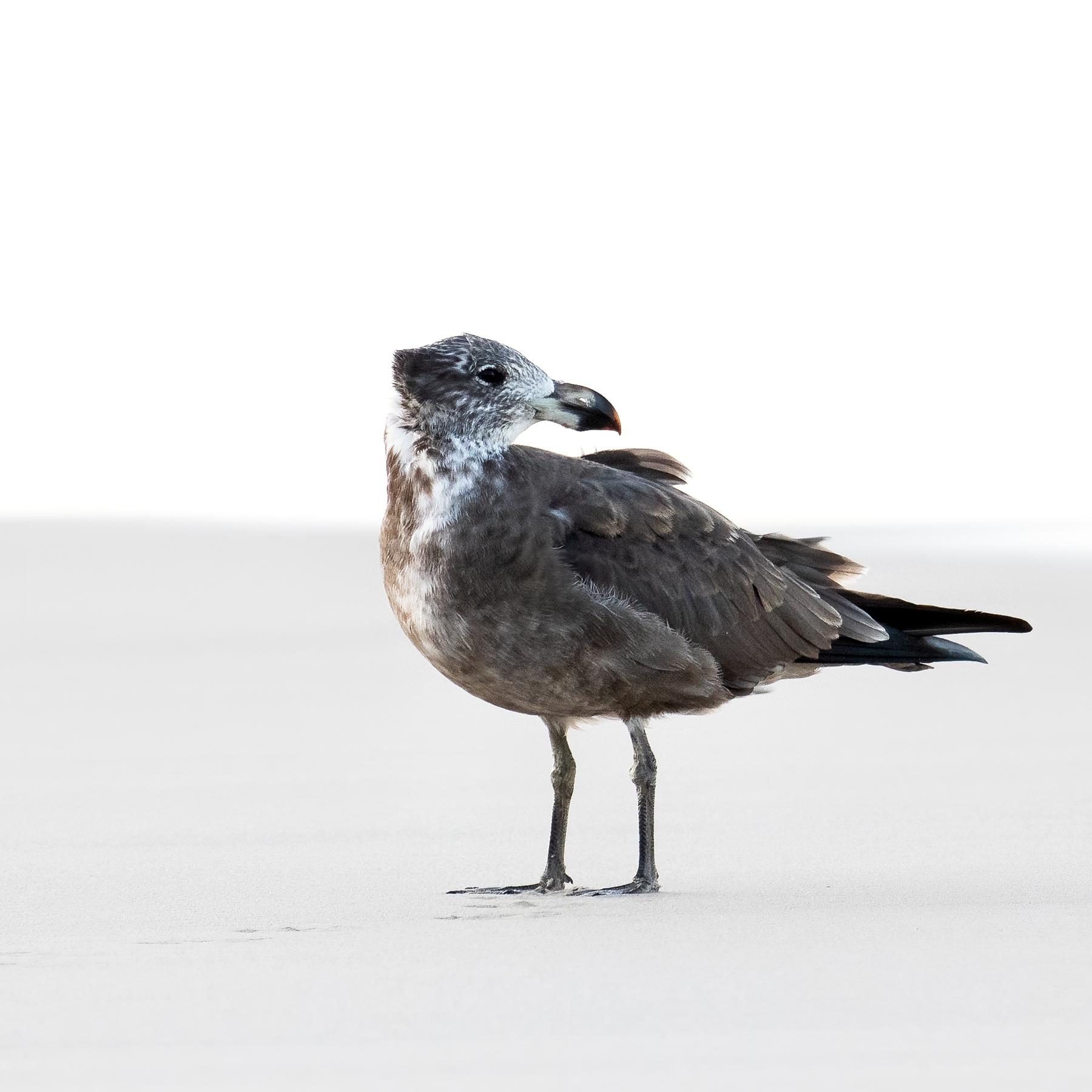 Pacific Gull (Image ID 45951)