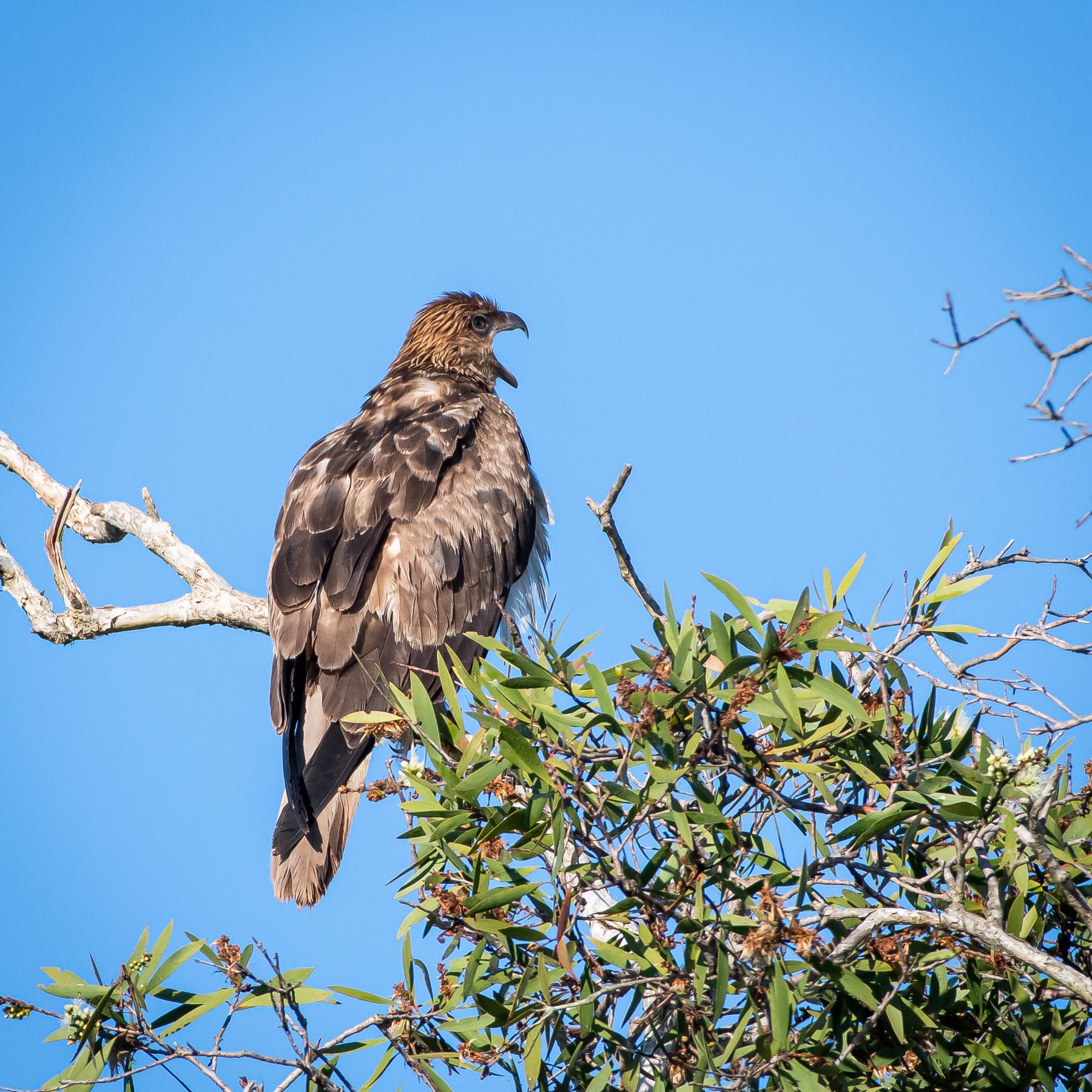 Whistling Kite (Image ID 46120)