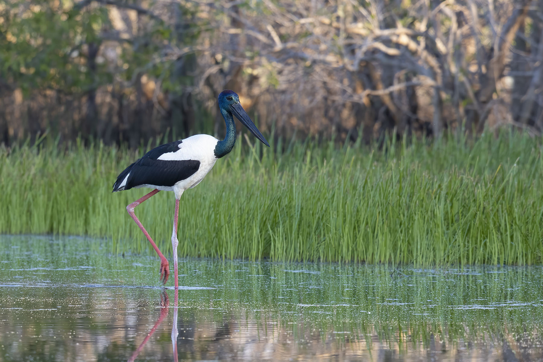 Black-necked Stork (Image ID 46445)