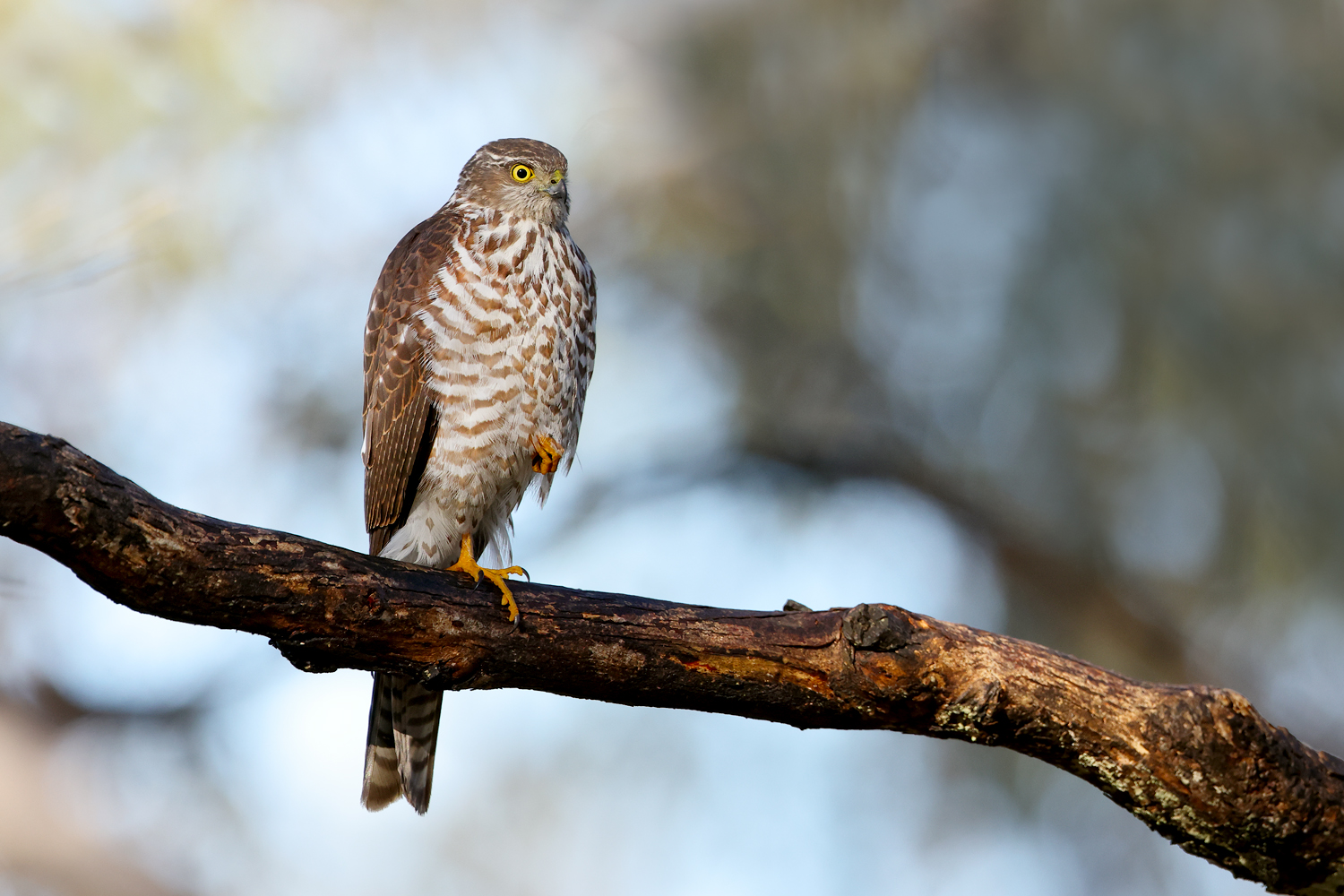 Collared Sparrowhawk (Image ID 46561)