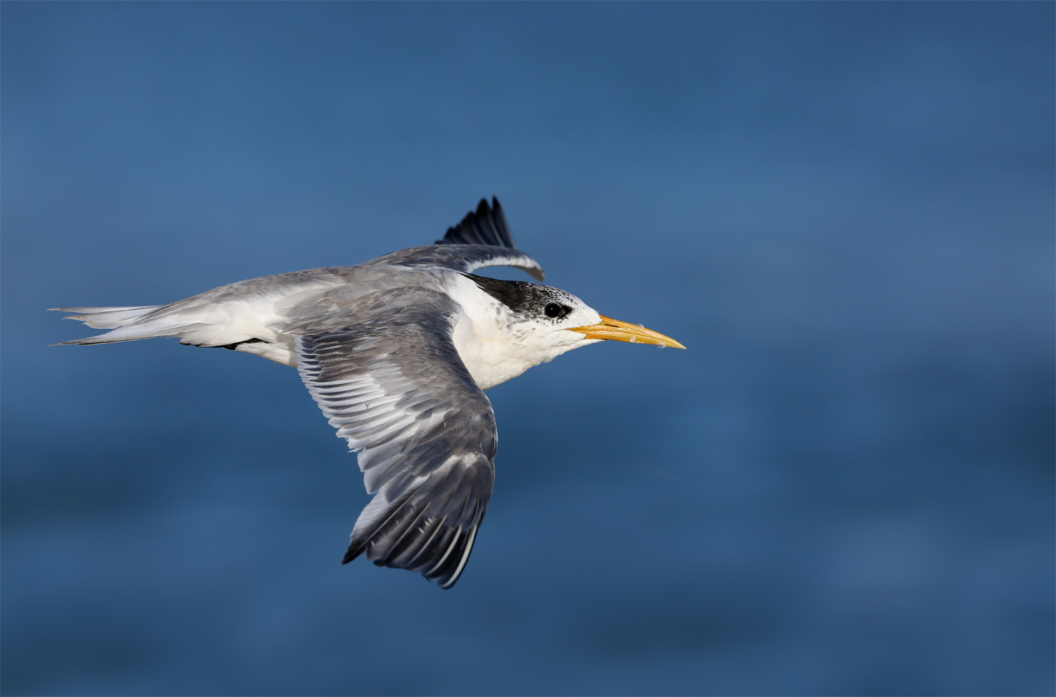 Greater Crested Tern (Image ID 46564)
