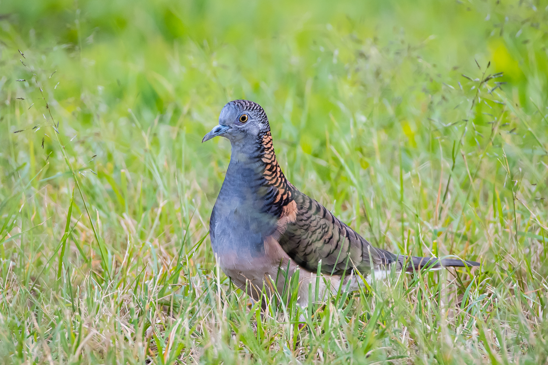 Bar-shouldered Dove (Image ID 46630)