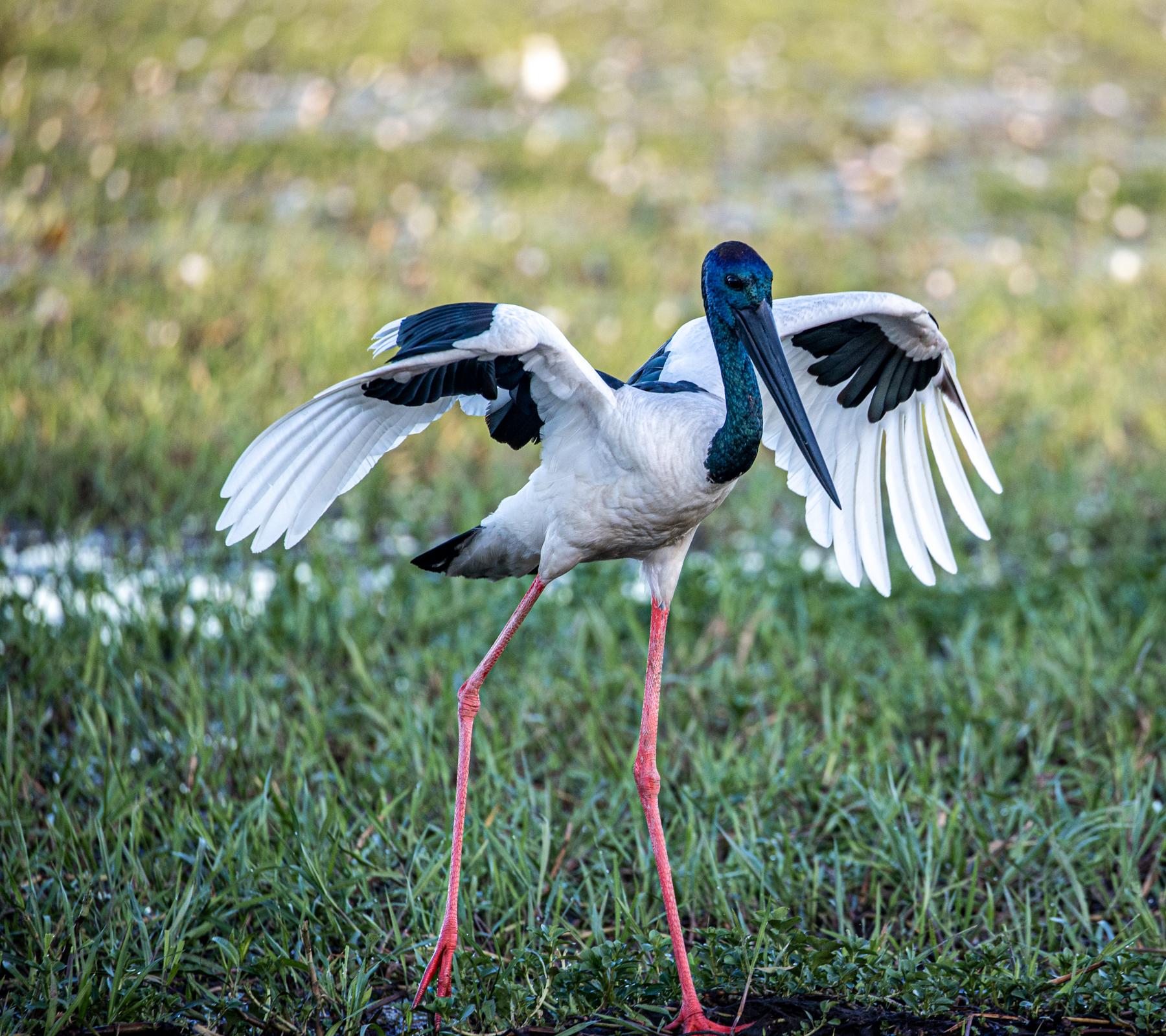Black-necked Stork (Image ID 46683)