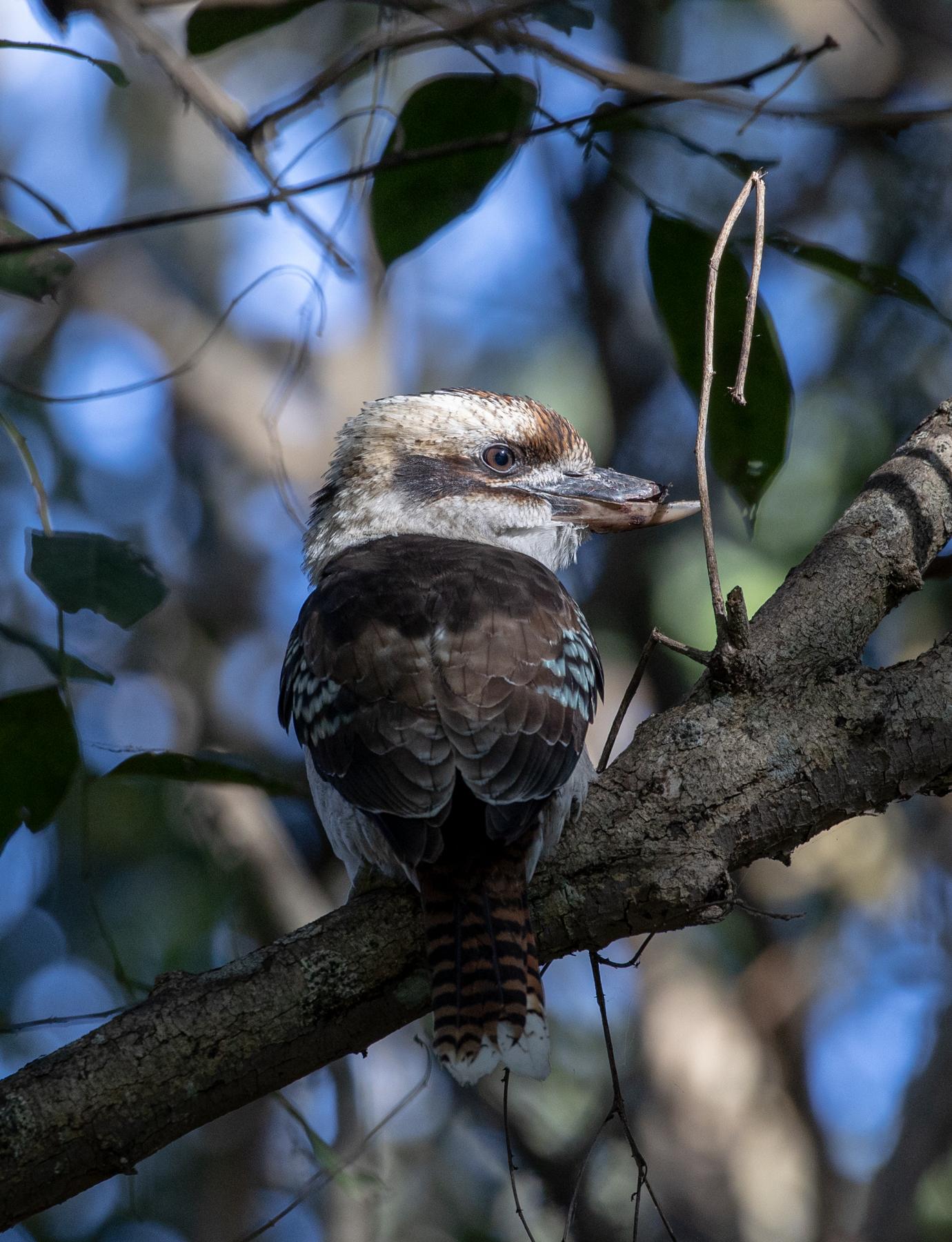 Laughing Kookaburra (Image ID 46634)