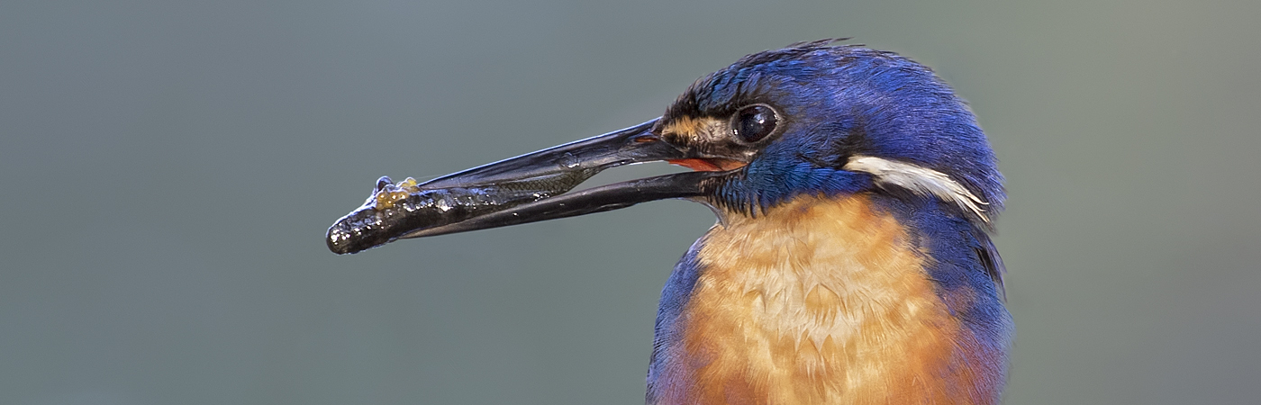 Azure Kingfisher (Image ID 46885)