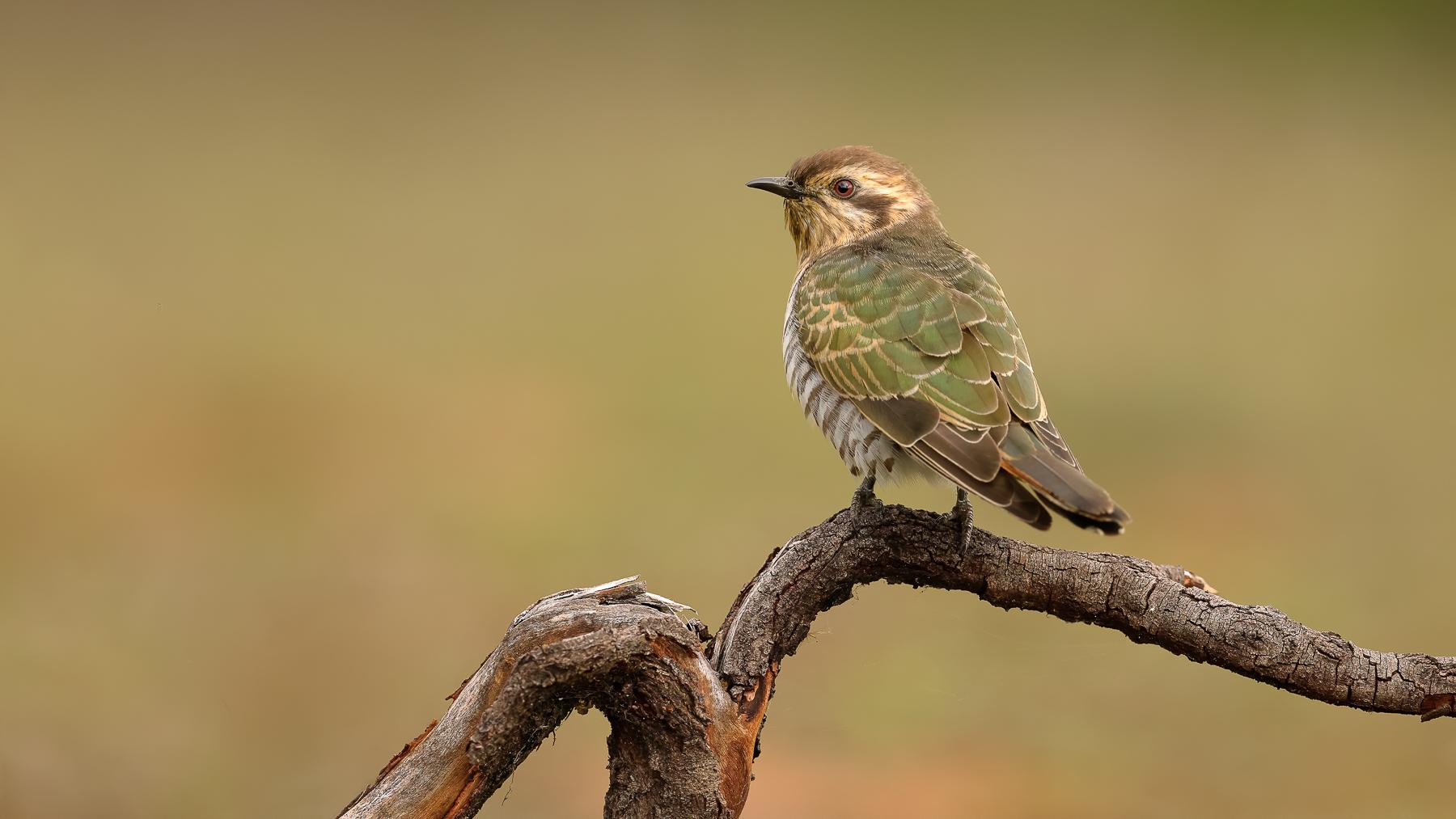 Horsfield's Bronze-Cuckoo (Image ID 47072)