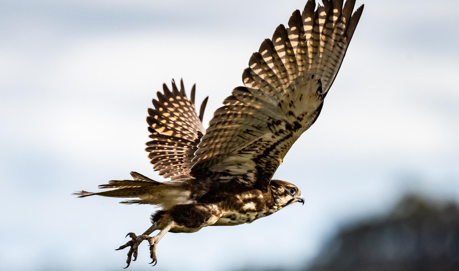 Brown Falcon (Image ID 47198)