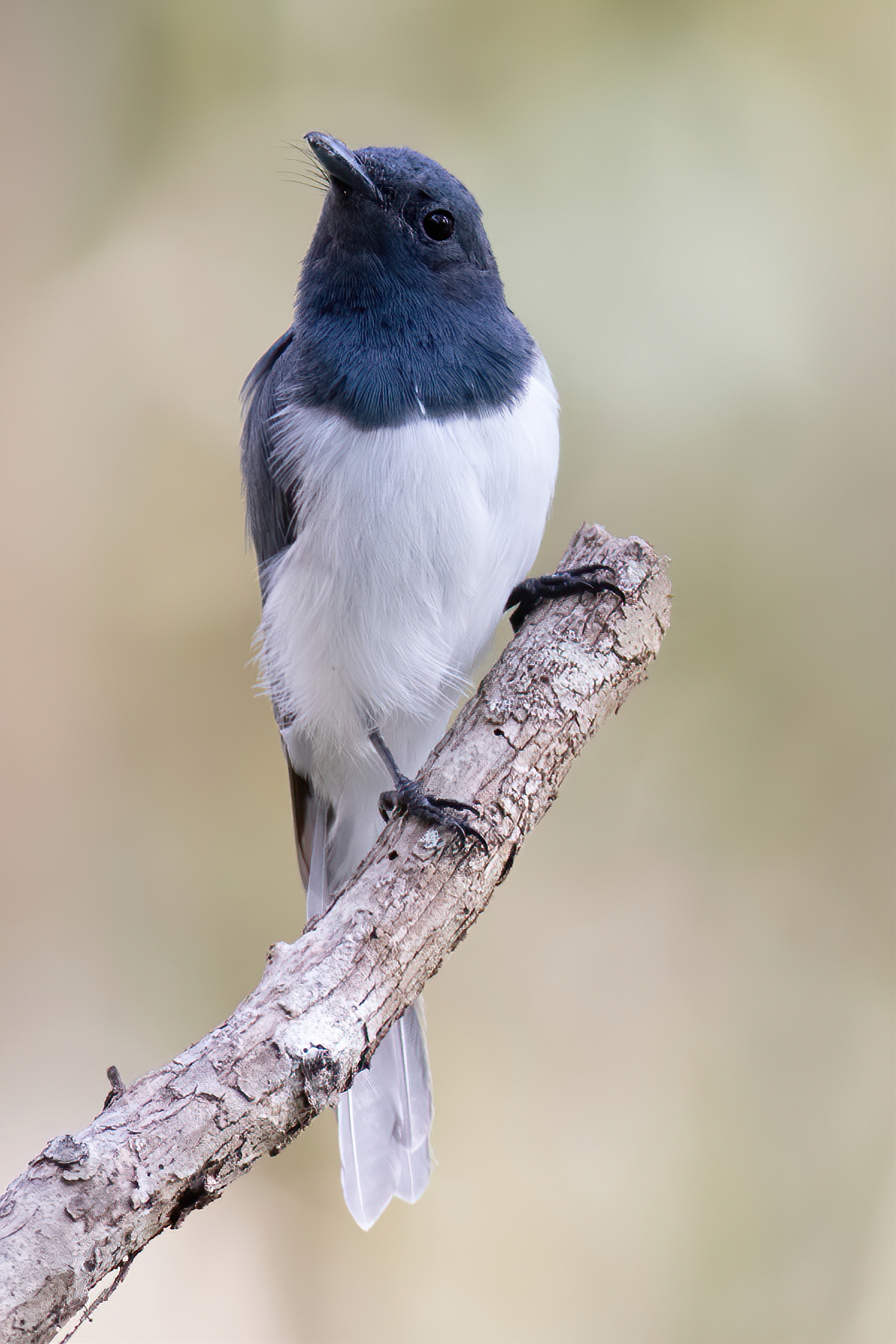Leaden Flycatcher (Image ID 47204)