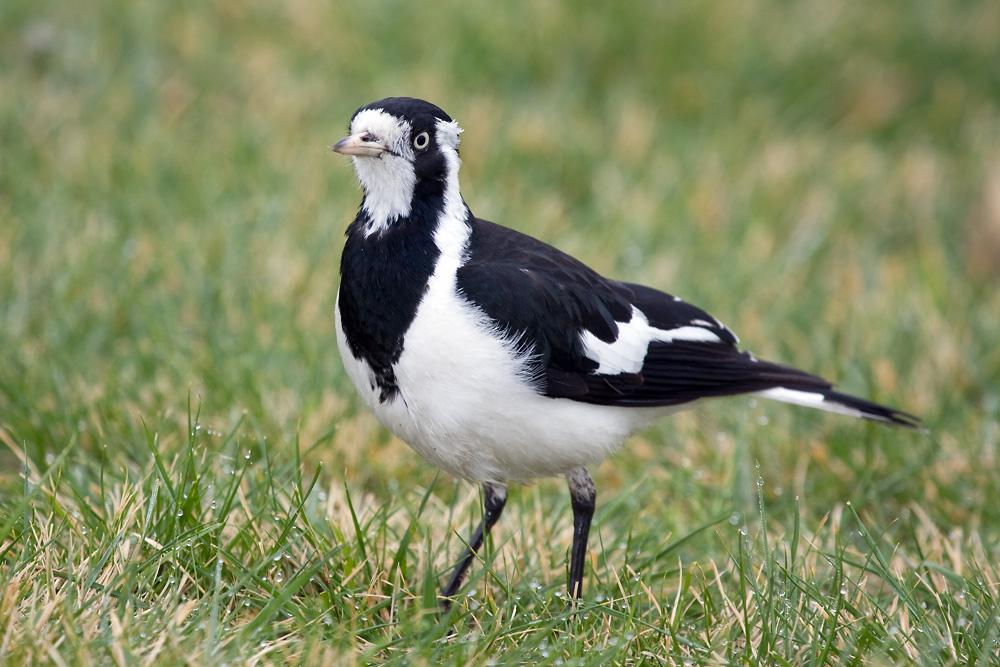 Magpie-lark (Image ID 4596)