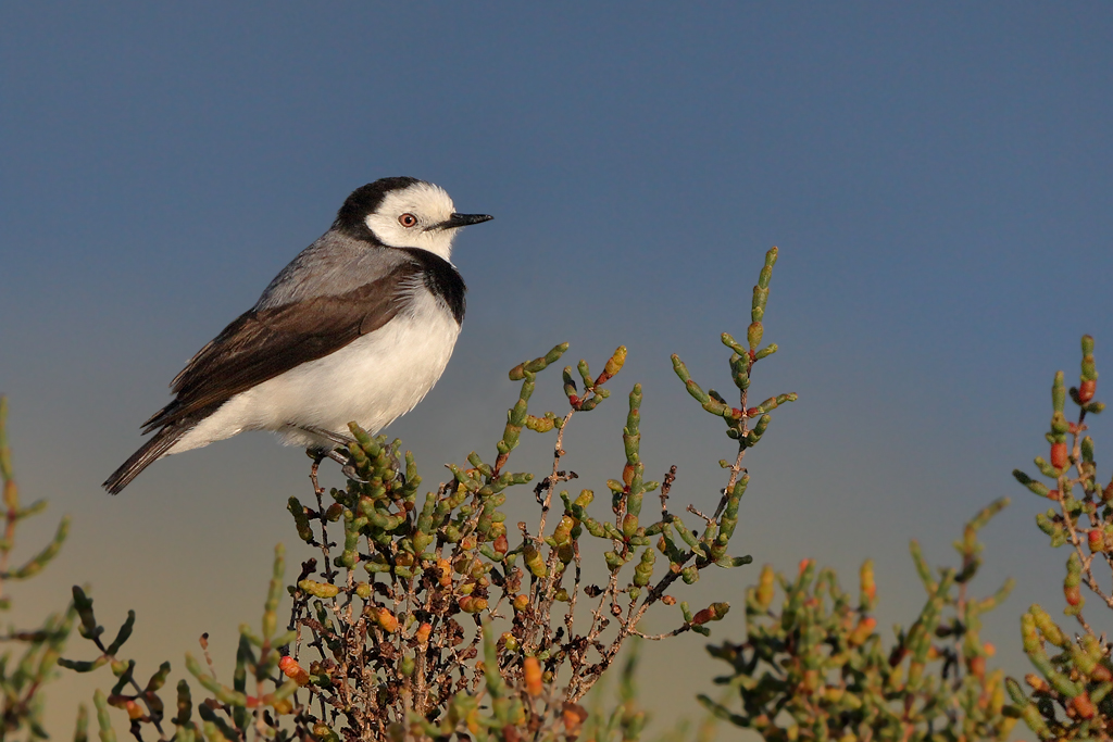 White-fronted Chat (Image ID 13229)