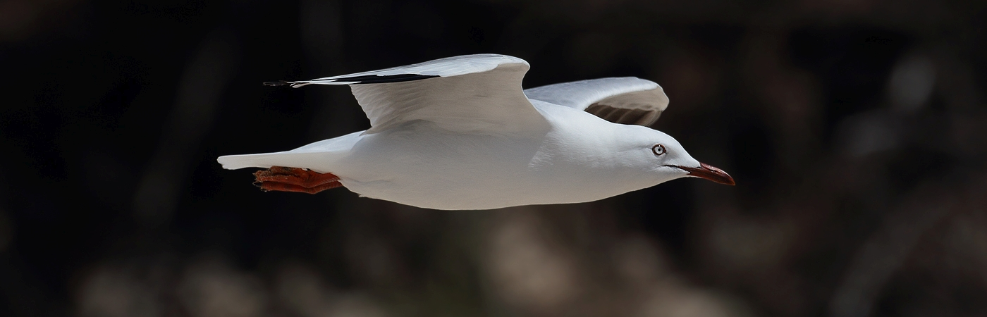 Silver Gull (Image ID 18903)