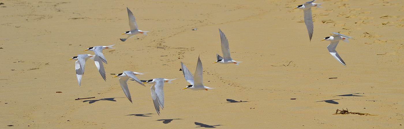 Little Tern (Image ID 19077)