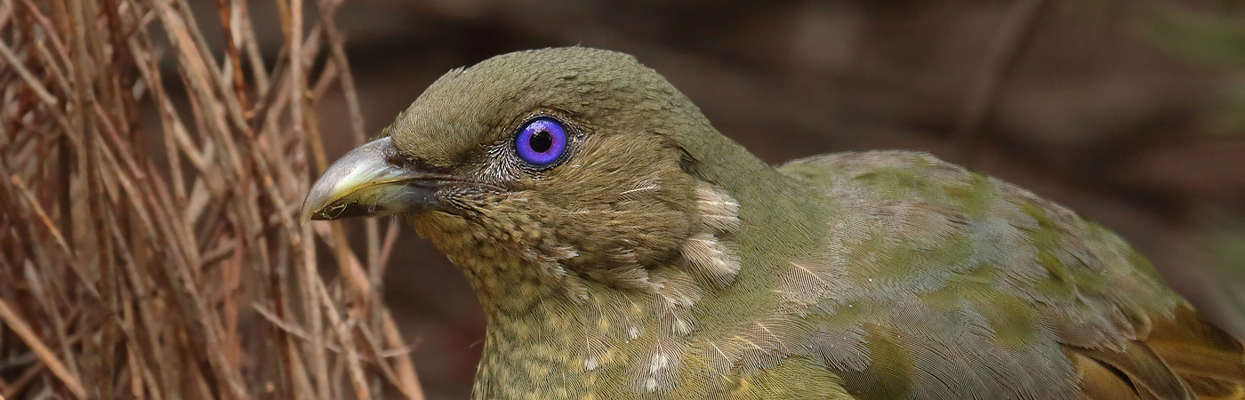 Satin Bowerbird (Image ID 19432)