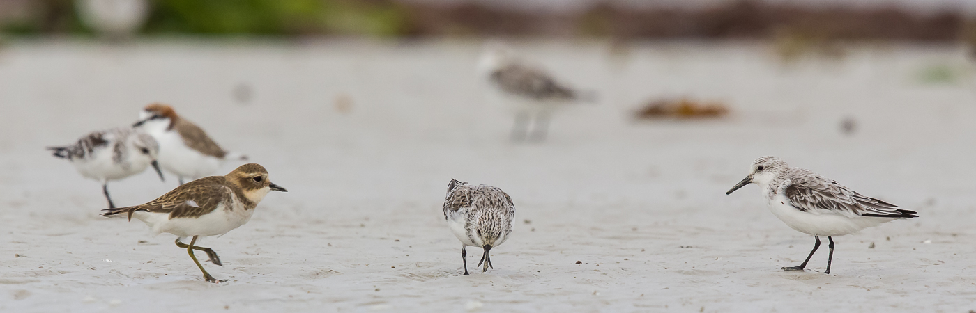 Double-banded Plover, Sanderling (Image ID 19687)