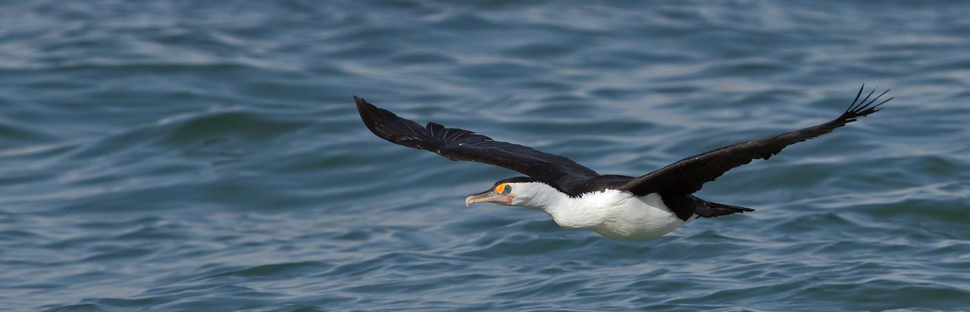 Pied Cormorant (Image ID 20114)