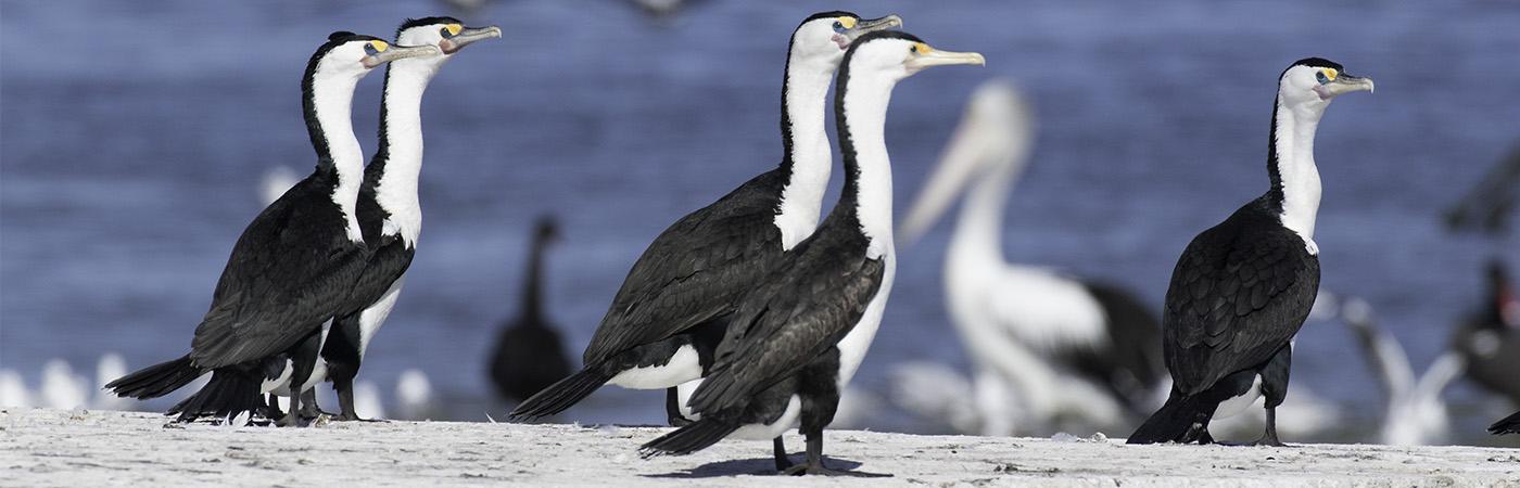 Great Pied Cormorant (Image ID 19882)