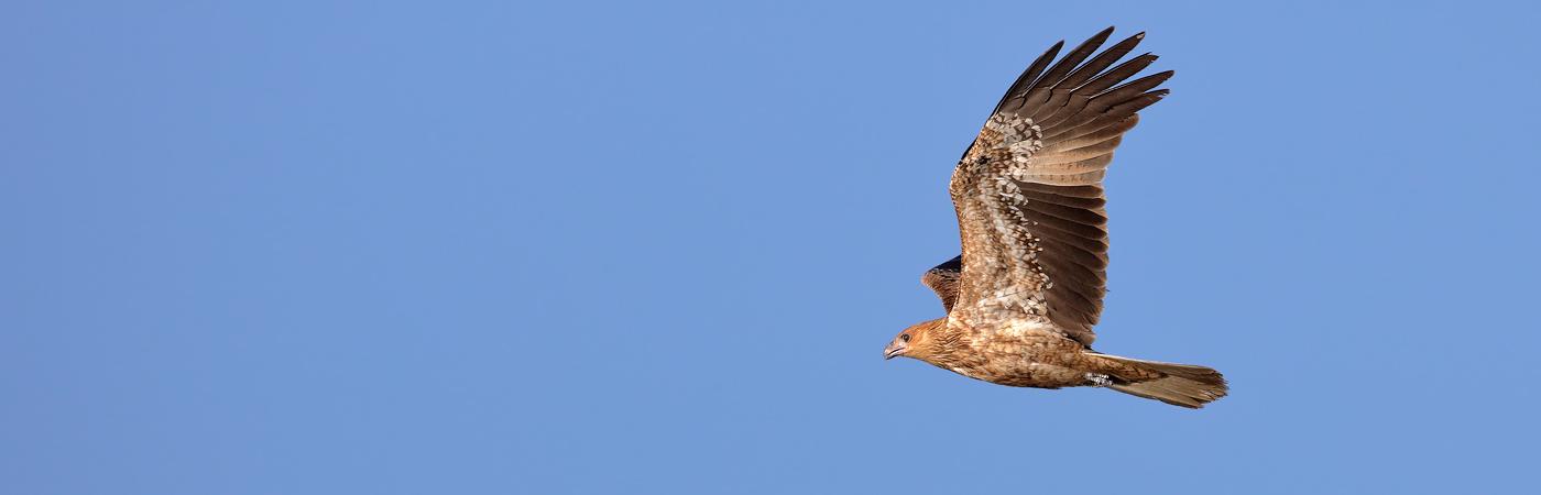 Whistling Kite (Image ID 20268)