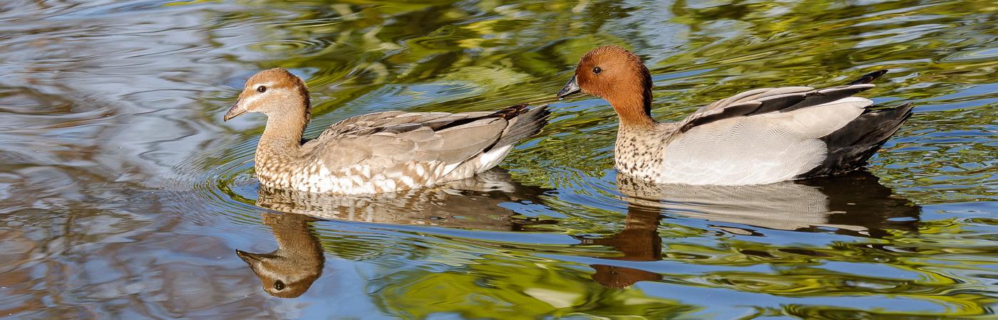 Australian Wood Duck (Image ID 20852)