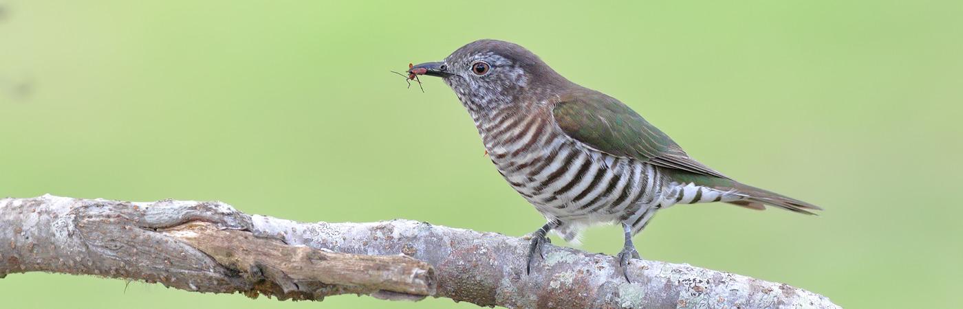 Shining Bronze-Cuckoo (Image ID 21036)