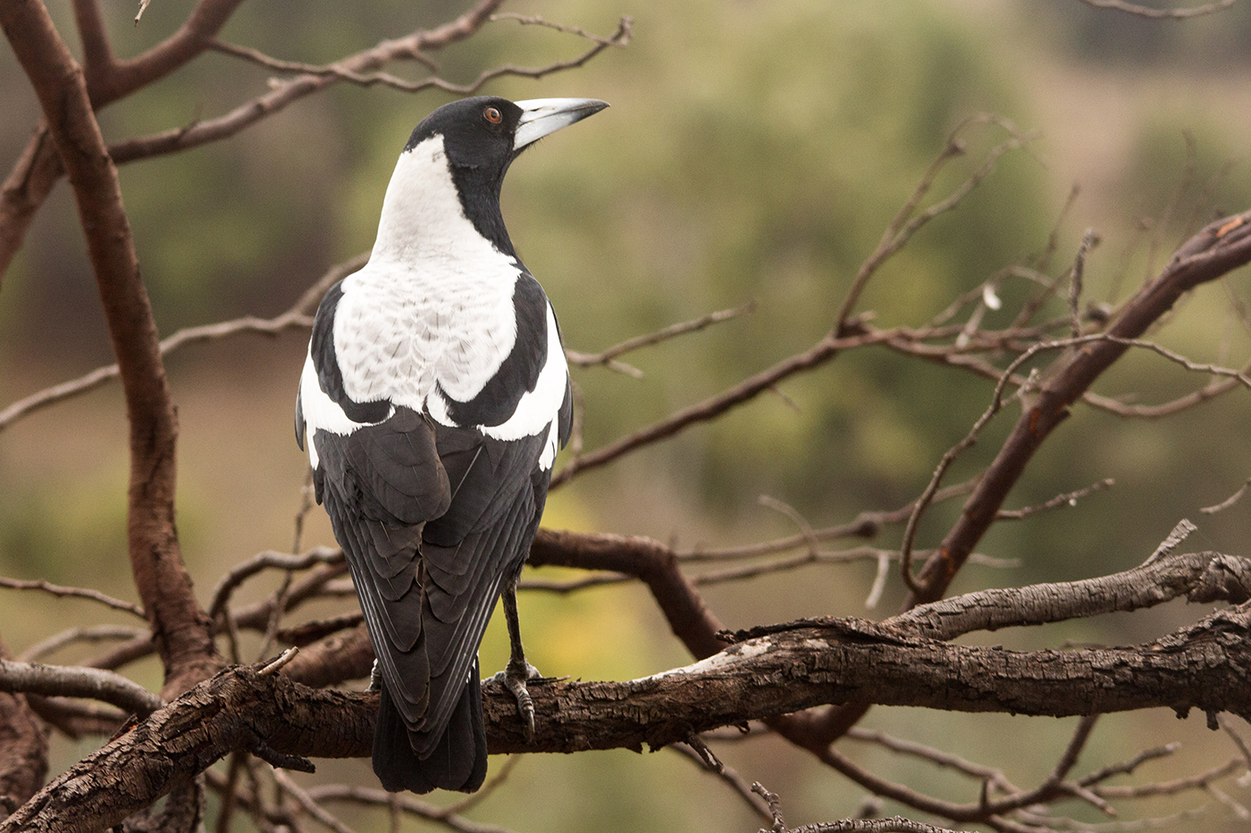 Image 21363 of Australian Magpie by Joy Peter - photo#24