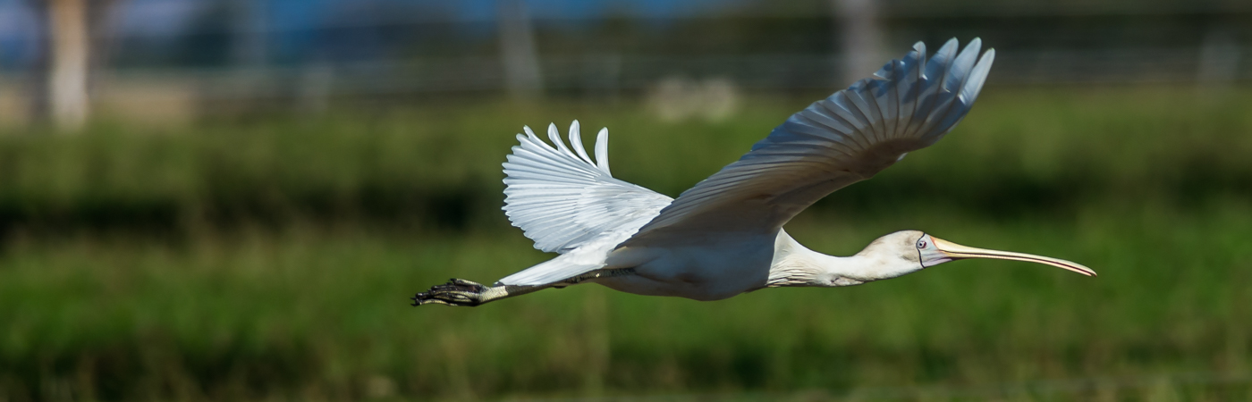 Yellow-billed Spoonbill (Image ID 21417)