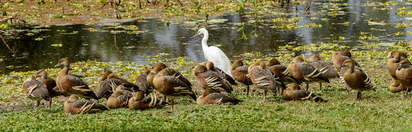 Little Egret, Plumed Whistling-Duck