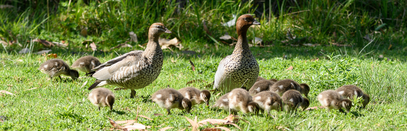Australian Wood Duck (Image ID 22274)