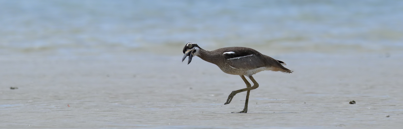 Beach Stone-curlew (Image ID 22288)