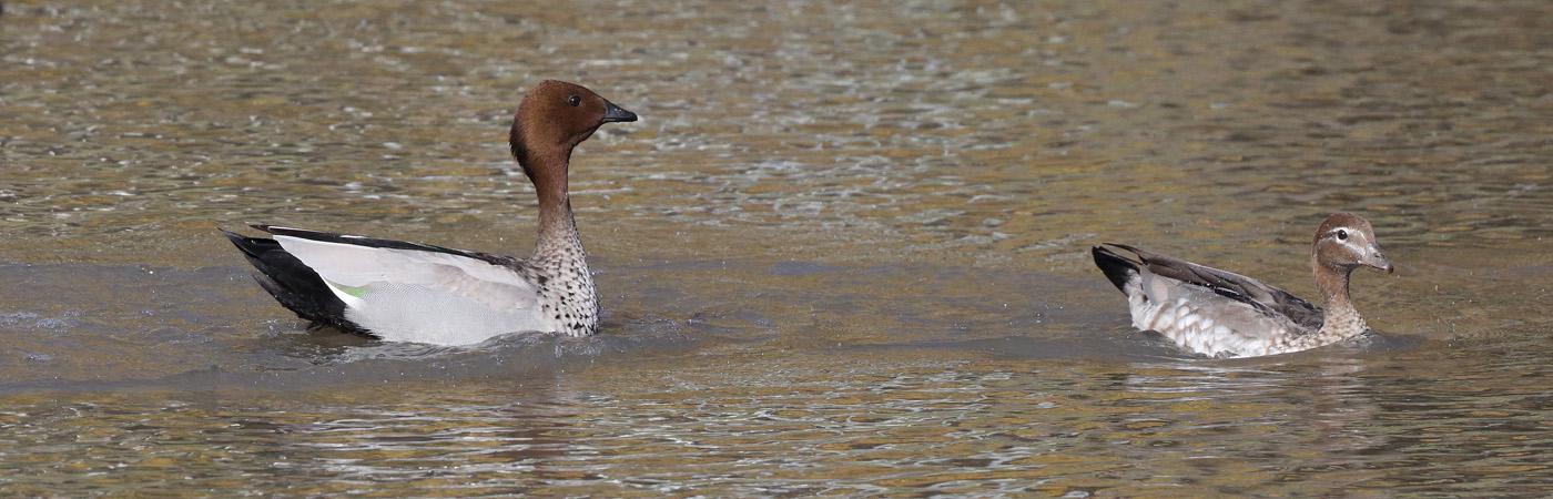 Australian Wood Duck (Image ID 22525)