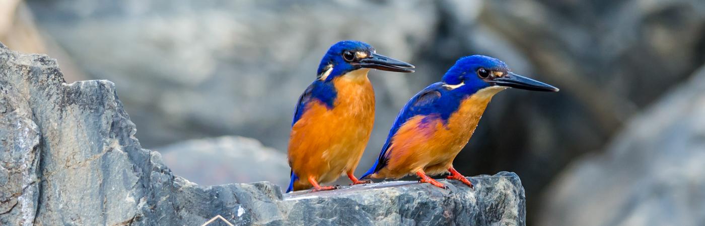 Azure Kingfisher (Image ID 22520)